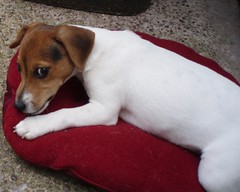 dog breed, animal, dog, brazilian terrier, pet, mammal, parson russell terrier, russell terrier, jack russell terrier, terrier,