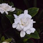 Foto: Kaapse jasmijn
