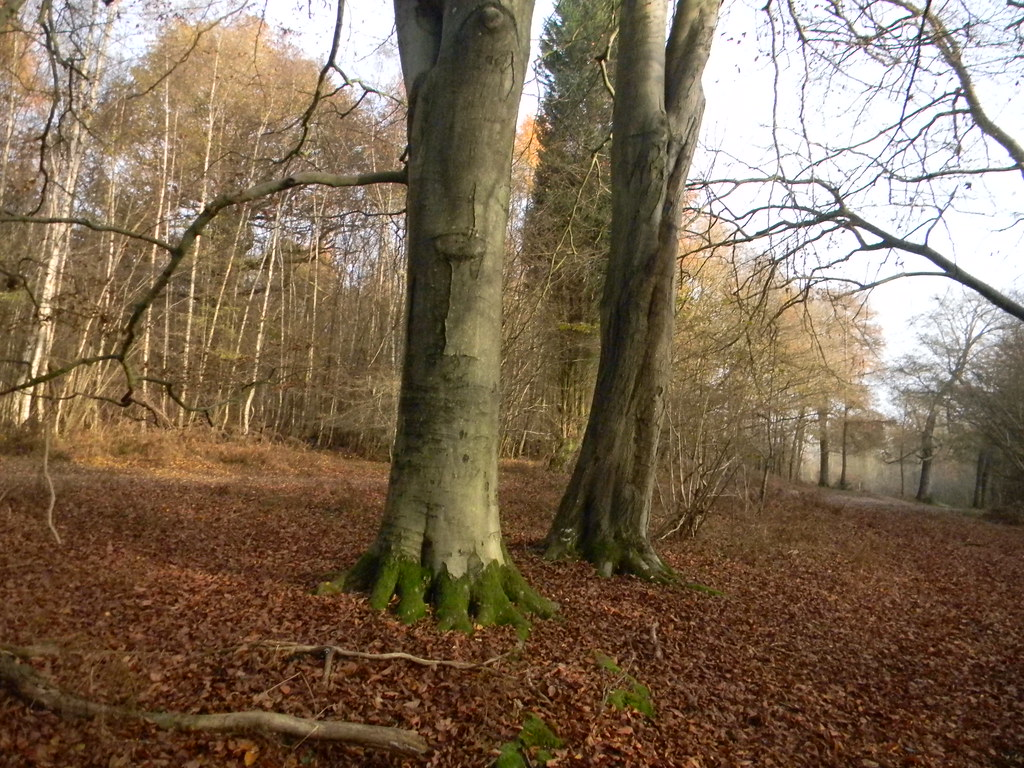 """Run! I think these """"dinosaur leg"""" tree trunks feature in another walk too. Ockley to Warnham"""