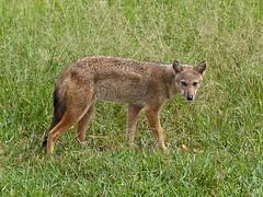 jackal(0.0), saarloos wolfdog(0.0), coyote(0.0), animal(1.0), red wolf(1.0), mammal(1.0), grey fox(1.0), fauna(1.0), dhole(1.0), kit fox(1.0), wildlife(1.0),