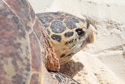The Hawksbill turtle.