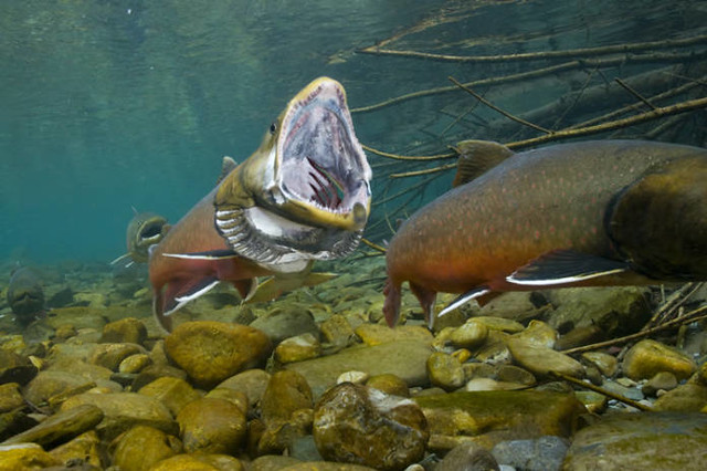 Bull trout open mouth flickr photo sharing for Fishing in montana