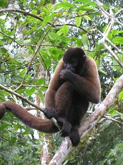 gibbon(0.0), lemur(0.0), animal(1.0), monkey(1.0), mammal(1.0), fauna(1.0), new world monkey(1.0), jungle(1.0), ape(1.0), wildlife(1.0),
