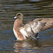 Full wing extension - American Wigeon