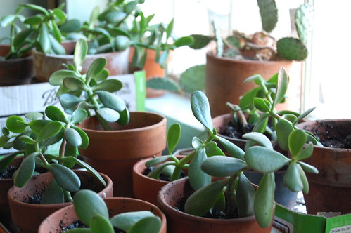 jade cuttings