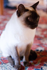 animal, kitten, siamese, small to medium-sized cats, pet, snowshoe, thai, tonkinese, cat, burmese, carnivoran, whiskers, balinese, birman, domestic short-haired cat,