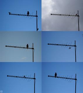 Birds on Antenna