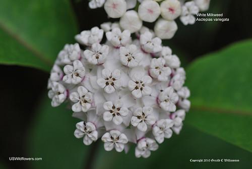 White Milkweed, Redring Milkweed, Variegated Milkweed - Asclepias variegata