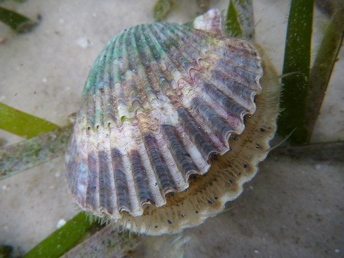 Bay Scallop in St. Joe Bay