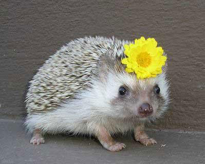 cutsie-hedgehog