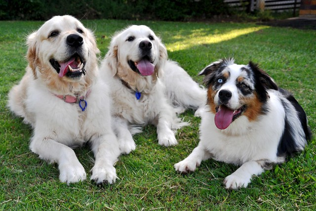 Here are three dogs enjoying each other's company. But are dogs pack animals? Or is that just another one of many popular dog myths?