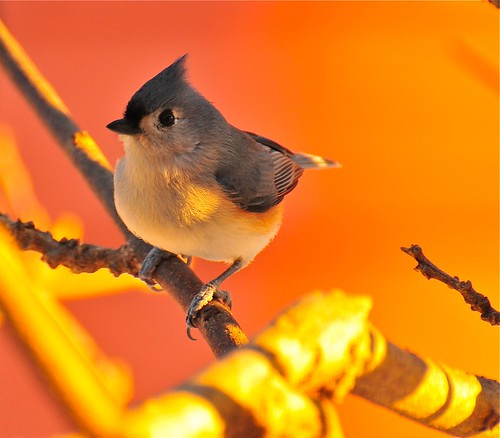 Tufted Titmouse on a winter morning in the sunglow .
