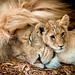 Lion & Cub by Paul Mansfield