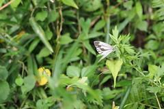 Asian Green-veined White (Pieris melete)