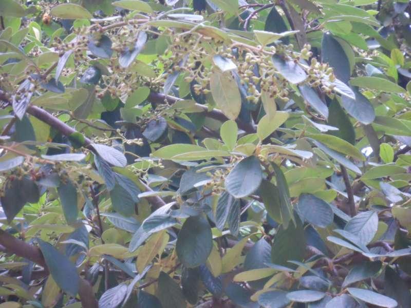 Cotoneaster lacteus 1