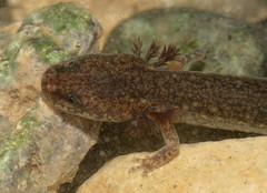 Euyrcea neotenes (Texas Spring Salamander)