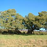 Acacia koa open grown