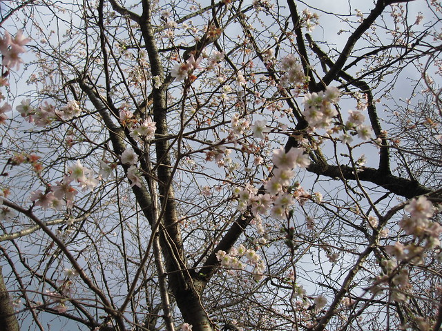 Many late autumn blossoms on Prunus x subhirtella 'Jugatsu-zakura.' Photo by Rebecca Bullene.