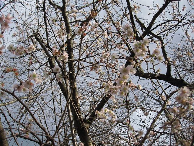 Many late autumn blossoms on Prunus x subhirtella 'Jugatsu-zakura.' Photo by Rebecca Bullene.