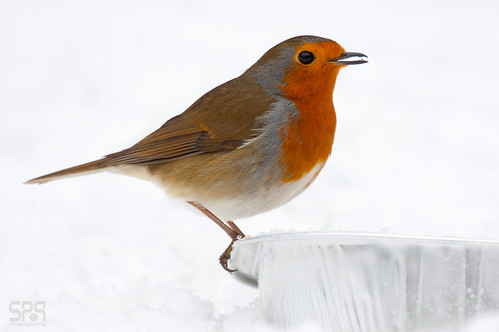 Robin in Snow_(Dec2010)