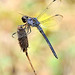 Slaty Skimmer - Photo (c) Jimmy Smith, some rights reserved (CC BY-NC-ND)