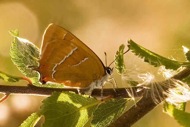 Hairstreak butterfly definition meaning - Brown butterfly meaning money ...