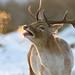 Buck ! by Dan Belton ( No Badger Cull )