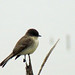 Eastern Phoebe - Photo (c) Maggie.Smith, some rights reserved (CC BY-NC)