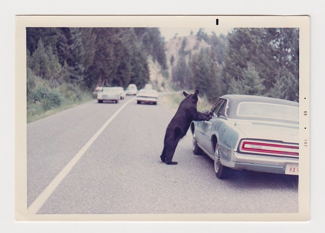 Black bear on car in Yosemite
