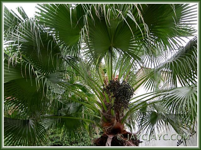 chinese fan palm fruit - photo #3