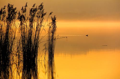 nebbia reflexions canne crepuscolo folaga lagodialserio