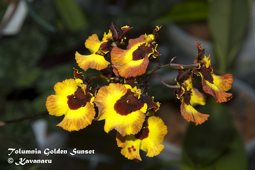 Tolumnia Golden Sunset