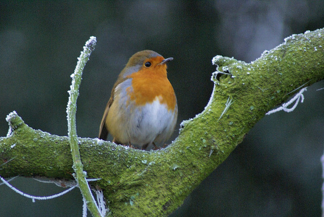 British Birds - Robin