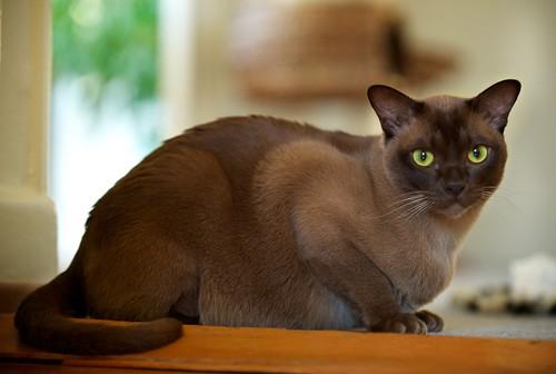 Cooper: Burmese Cat