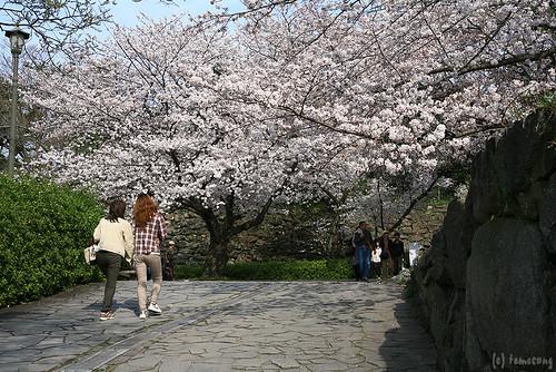 Sakura Festival 2014