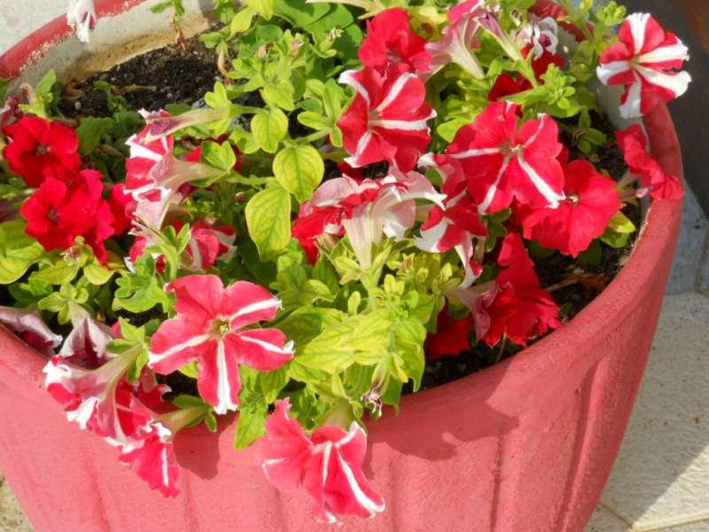 Petunia multiflora 3