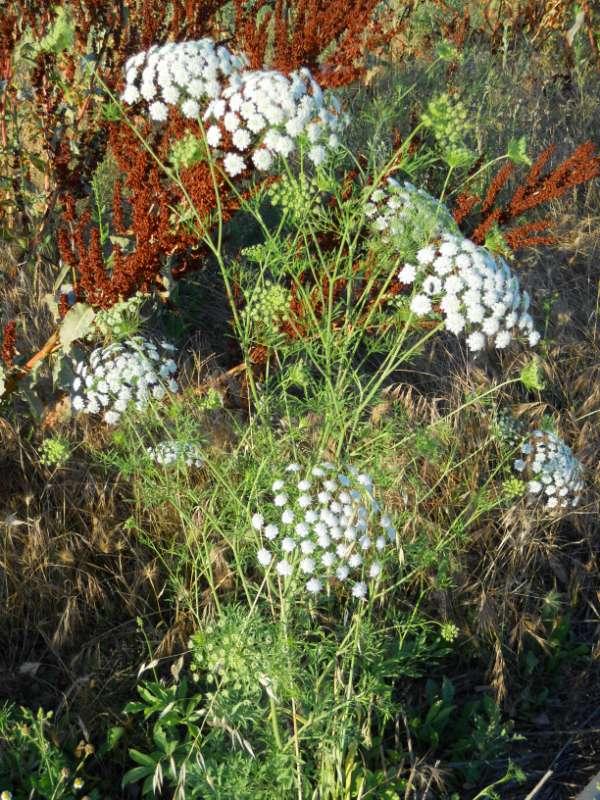 Achillea milefolium v 1
