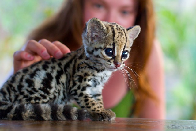 Fabulous Cats That Look Like Tigers Leopards   Primcousa