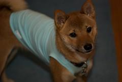 dog breed, animal, dingo, puppy, dog, shiba inu, carolina dog, pet, finnish spitz, close-up, carnivoran,