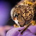 Eristalinus: Night shots