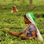 Grabbing a Handfull of Tea Leaves - West Bengal, India