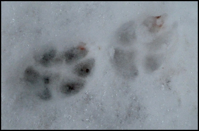 Fox Tracks In The Snow Flickr Photo Sharing