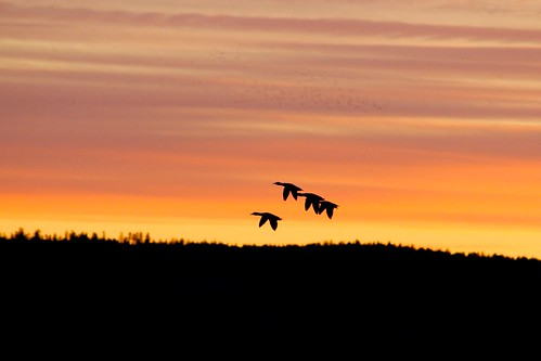 sunset sky lake bird birds silhouette duck wildlife ducks himmel ankor mallard anka arvika värmland solnedgång gräsand fåglar sjö fågel änder