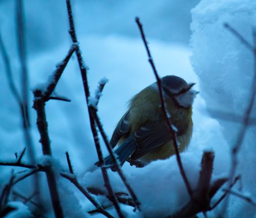 winter snow cold bird canon suomi finland eating 500d