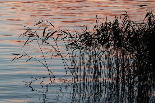 sunset lake reed water silhouette reeds vatten arvika vass siluett solnedgång sjö