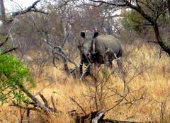 South Africa. Safari, Rhino