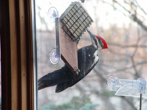Pileated Woodpecker photographed through a window