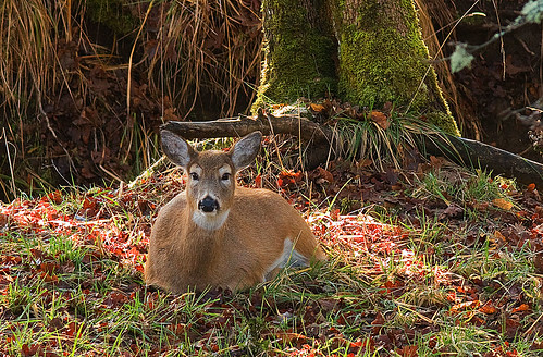 Columbian Whitetailed Deer