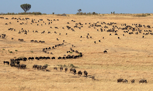 The Journey!! ( Wildebeest - Masai Mara, Kenya )