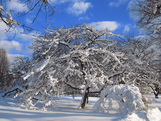 Maple under snow. Photo by Rebecca Bullene.